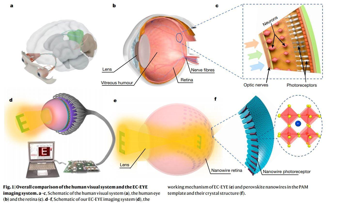 Gu, L., Poddar, S., Lin, Y. et al. A biomimetic eye with a hemispherical perovskite nanowire array retina. Nature 581, 278–282 (2020).