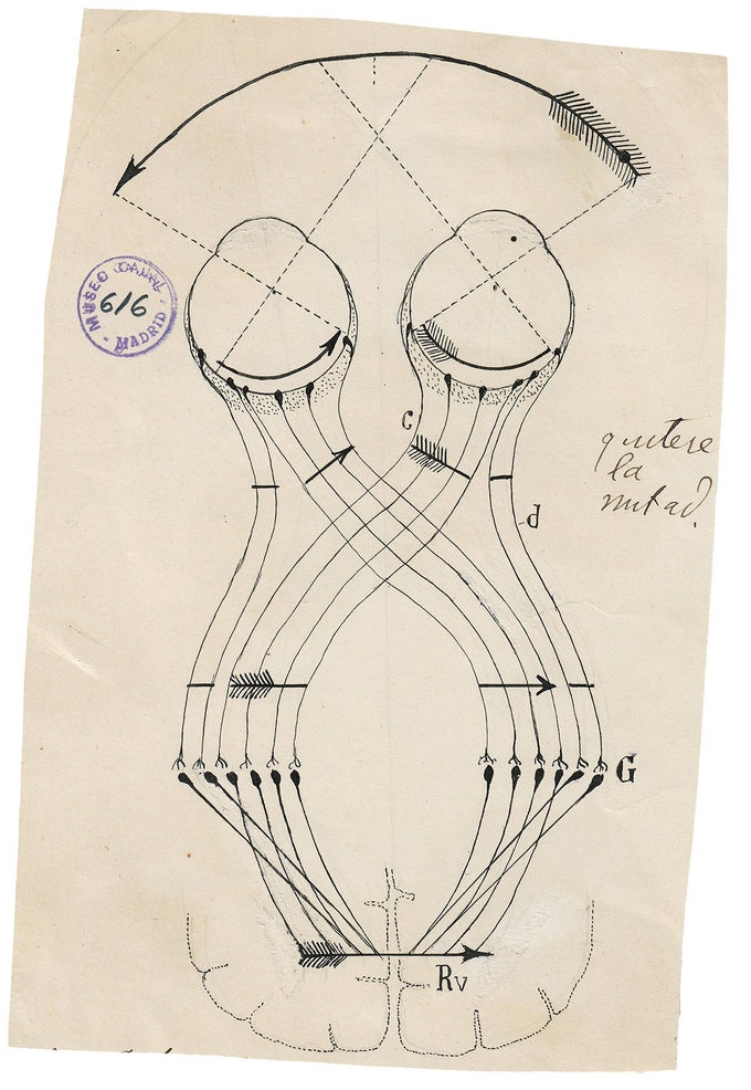 """Illustration by Santiago Ramón y Cajal from """"The Beautiful Brain"""""""